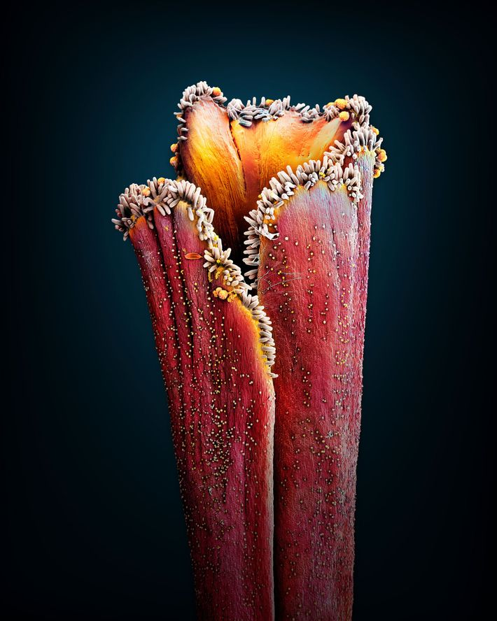 Esta imagem parece quase abstrata, mas é uma flor de açafrão, 'Crocus sativus'. São necessárias cerca ...