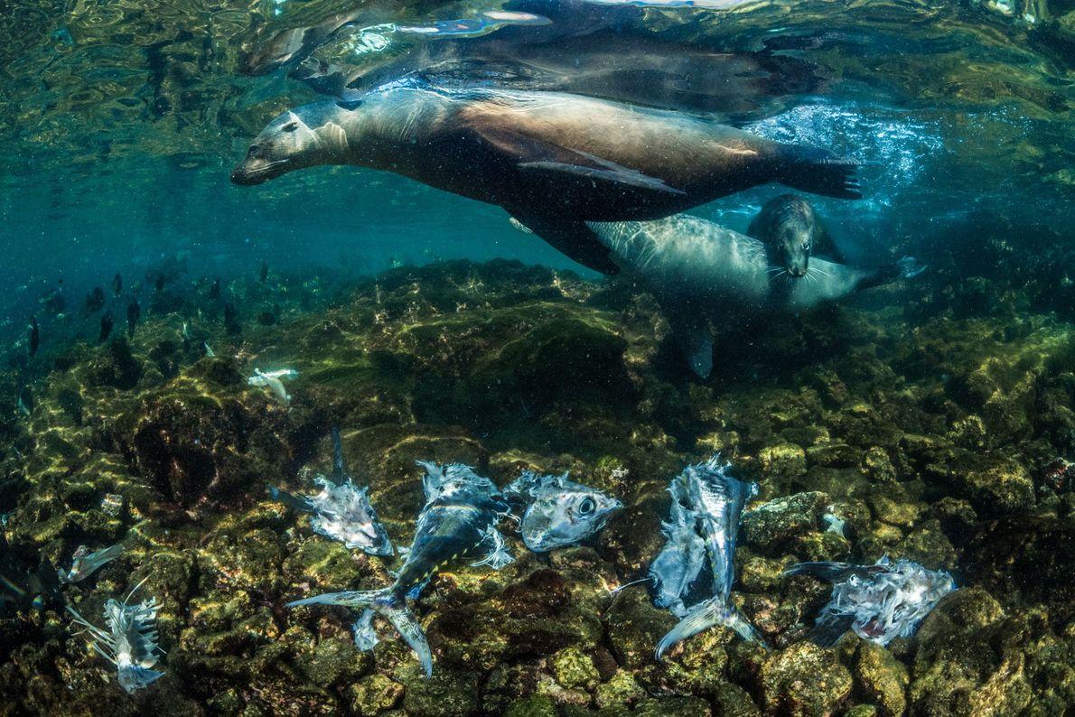 Leões-marinhos na ilha Isabela