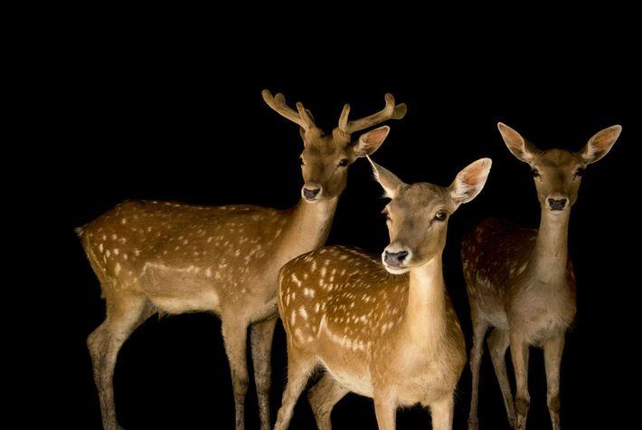 O Gamo é um cervídeo parente dos veados e cervos, de nome científico Dama dama.