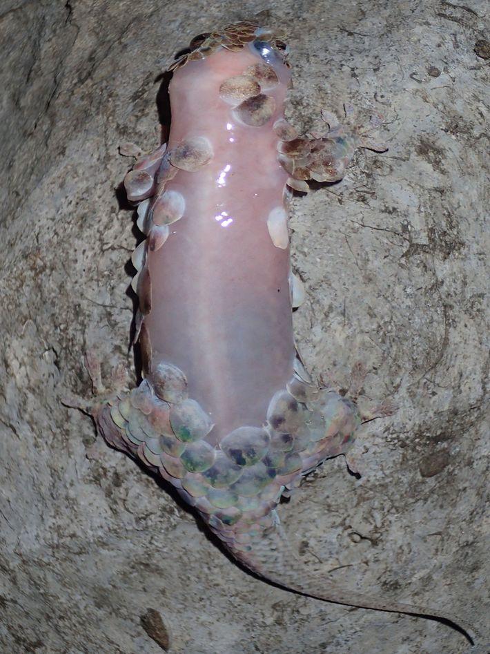 Um Geckolepis megalepis sem escamas