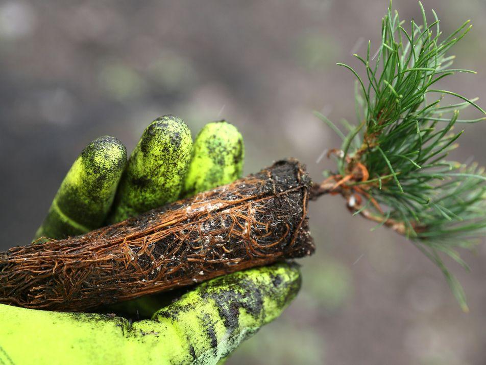 Plantar árvores ajuda a combater as alterações climáticas – mas é preciso muito mais