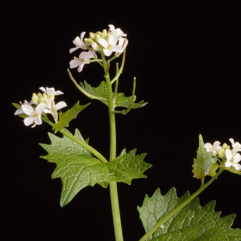 A erva-alheira invasora prejudica espécies nativas – mas os seus efeitos desvanecem com o tempo