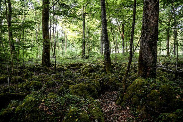 A apenas três horas de Paris, o 11º parque nacional de França protege um ecossistema florestal ...