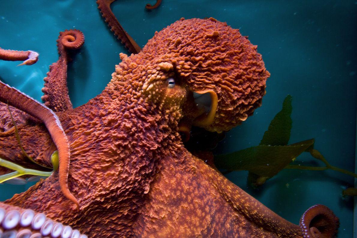 Os polvos-gigantes-do-pacífico aprenderam a abrir frascos, imitam outros polvos e resolvem labirintos em testes laboratoriais.