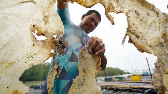 Kamar, um pescador indonésio, posa para a fotografia enquanto segura na pele seca de uma raia-gigante-de-água-doce ...