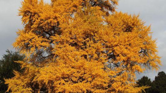 As Árvores Ginkgo Estavam Perto da Extinção. Descubra Como Salvámos Estes 'Fósseis Vivos'.