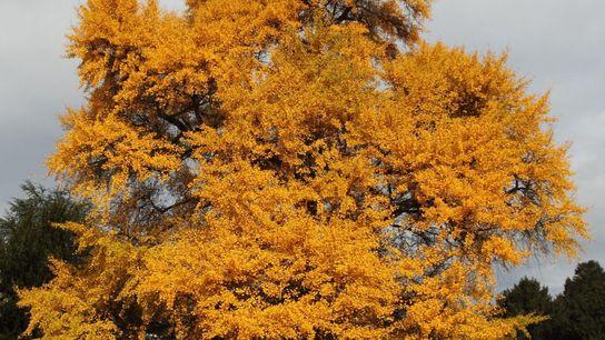 Uma árvore ginkgo no outono com as suas folhas amarelas. Ao contrário da maioria das árvores, ...