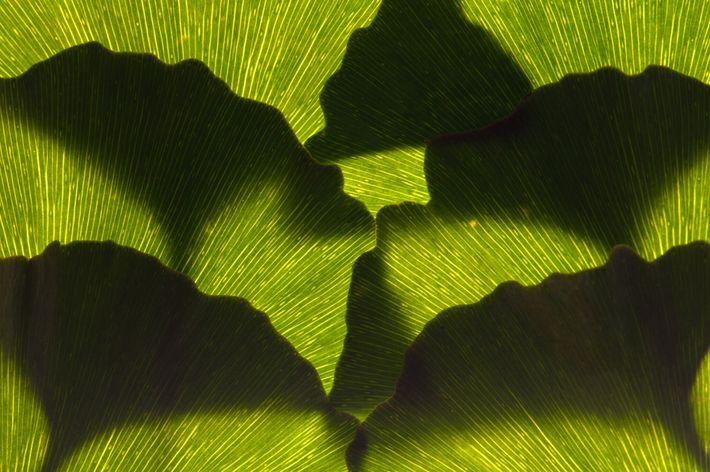 Um arranjo de folhas ginkgo, que têm uma cor verde brilhante antes de adquirirem um tom ...