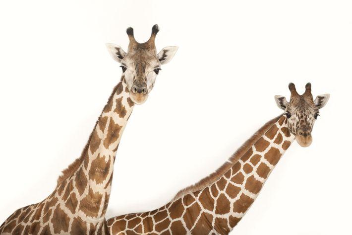 Uma girafa-reticulada  (Giraffa camelopardalis reticulata) e uma girafa-de-Rothschild  (Giraffa camelopardalis rothschildi), duas subespécies de ...