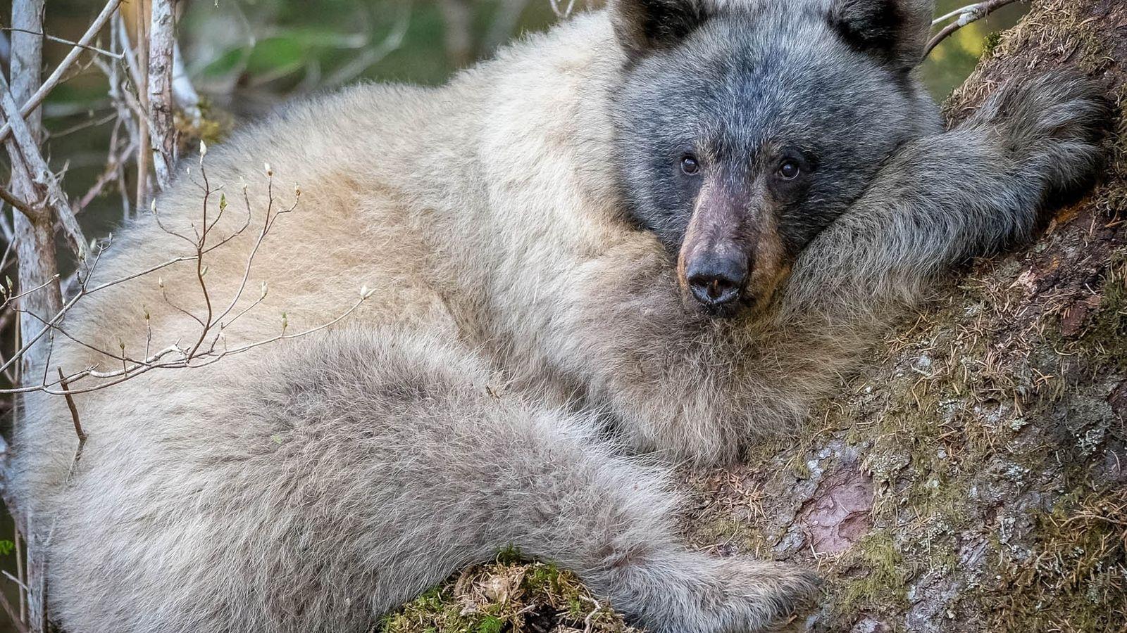 """Um """"urso dos glaciares"""" descansava na base de uma árvore, na Floresta Nacional de Tongass, no ..."""