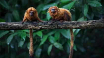 Pandemia Ameaça Meio Século de Esforços de Proteção de Macacos Raros