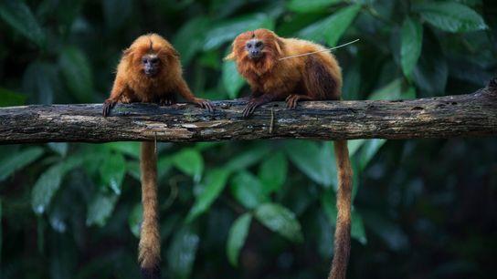 Micos-leões-dourados – animais em perigo de extinção – sentados no ramo de uma árvore na Mata ...