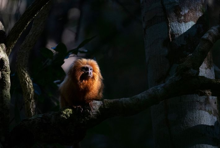 Até 2018, os cientistas não sabiam que a febre amarela podia infetar os micos-leões-dourados, mas os ...