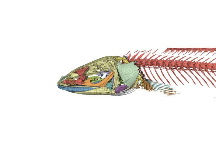 Uma imagem gerada por computador do esqueleto de cabeça-de-cobra-gollum. Os estudos anatómicos deste peixe ajudam a ...