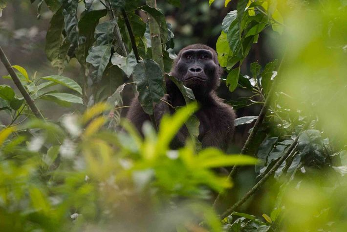 Uma gorila-ocidental-das-terras-baixas a espreitar entre a folhagem do Parque Nacional Odzala-Kokoua, na República do Congo.