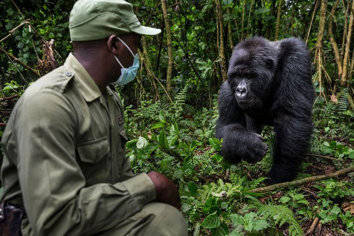 Mburanumwe, guarda do Parque Nacional de Virunga, usa uma máscara quando está perto dos gorilas para ...