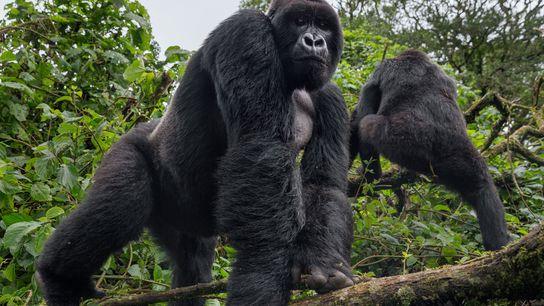 No Parque Nacional de Virunga, um gorila observa uma patrulha de guardas florestais. Os gorilas que ...