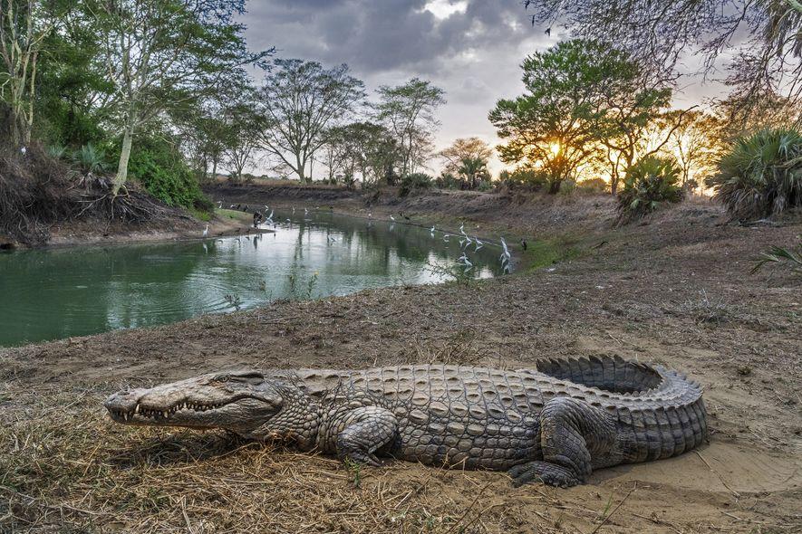 Um crocodilo repousa no Parque Nacional da Gorongosa, em Moçambique, onde o futuro da vida selvagem ...