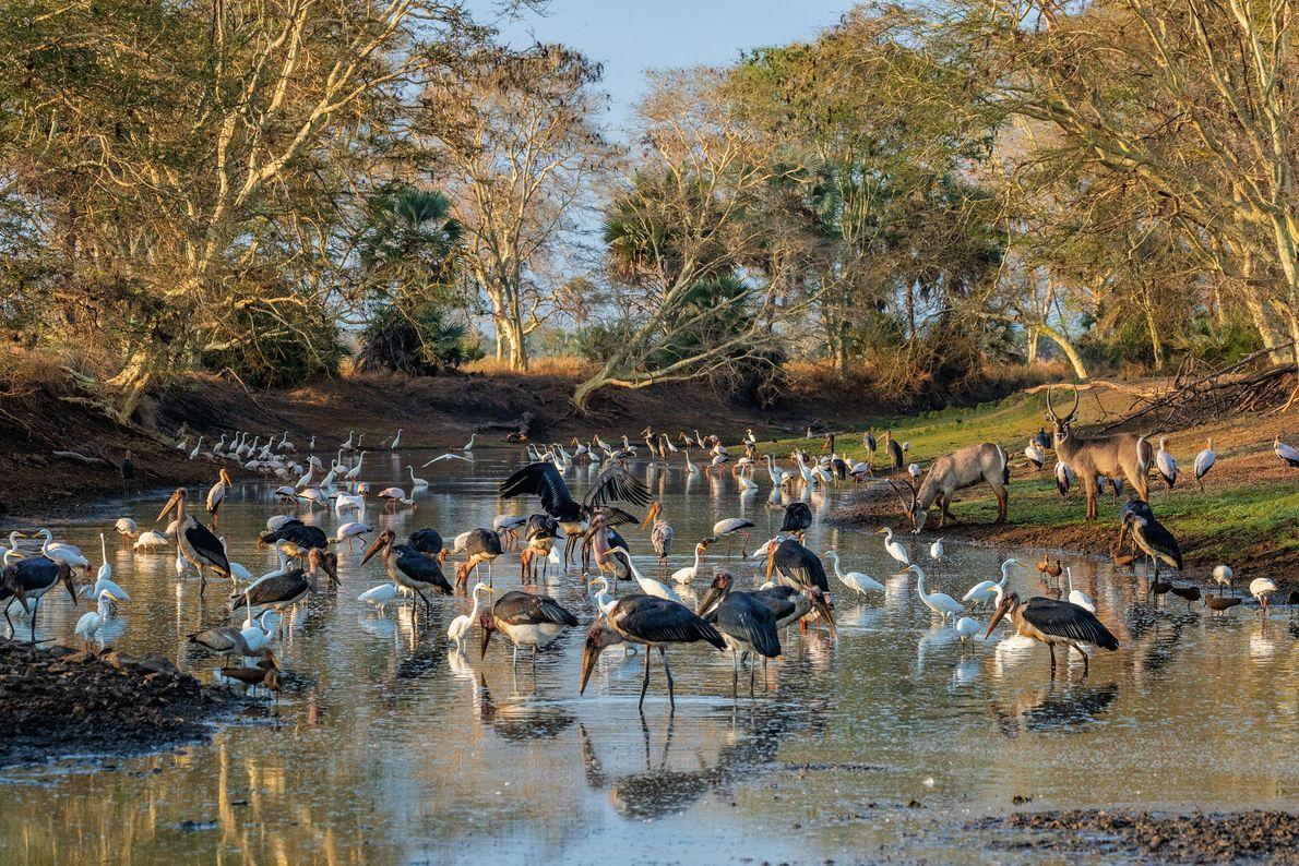 Na Gorongosa, no fim da estação seca, uma poça de água enorme que ainda subsiste no ...