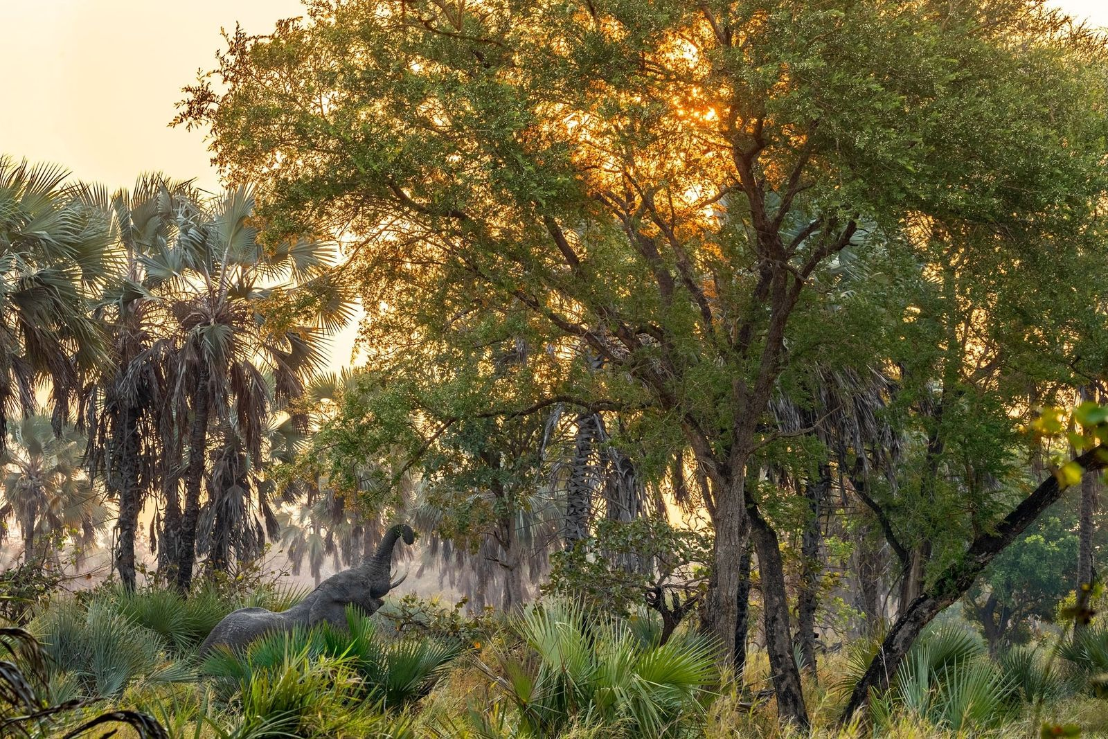 Um elefante a petiscar no Parque Nacional da Gorongosa, em Moçambique. A maioria dos elefantes do ...