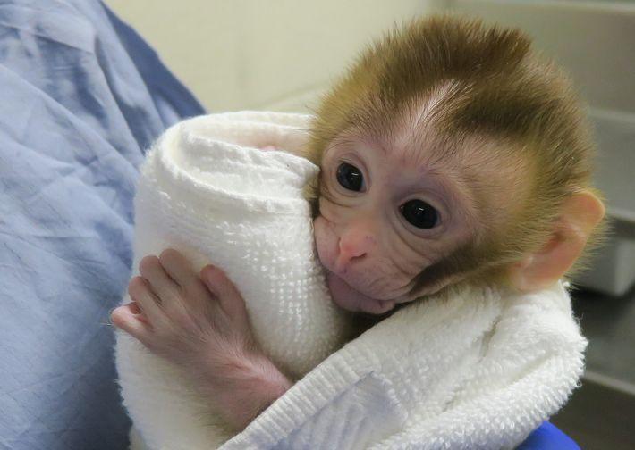 Grady, com duas semanas de idade, enrolada numa toalha, com os olhos bem abertos.
