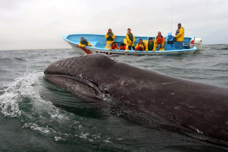 Baleia-cinzenta na Baixa Califórnia do Sul