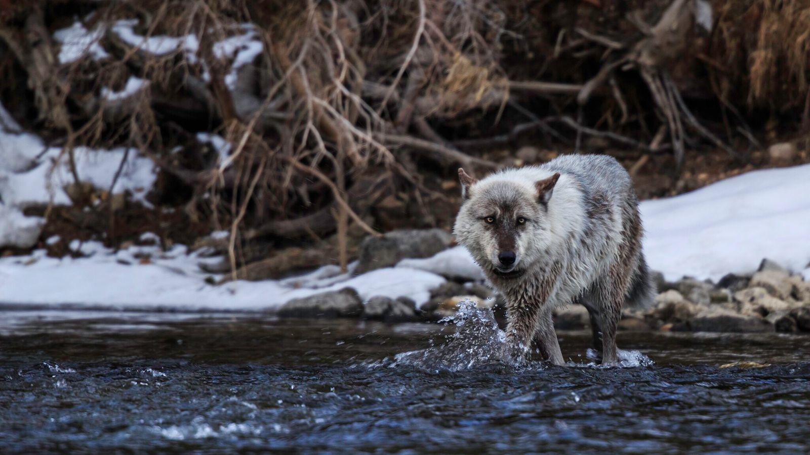 Em novembro, os eleitores do Colorado aprovaram uma medida para reintroduzir lobos neste estado norte-americano, estado ...