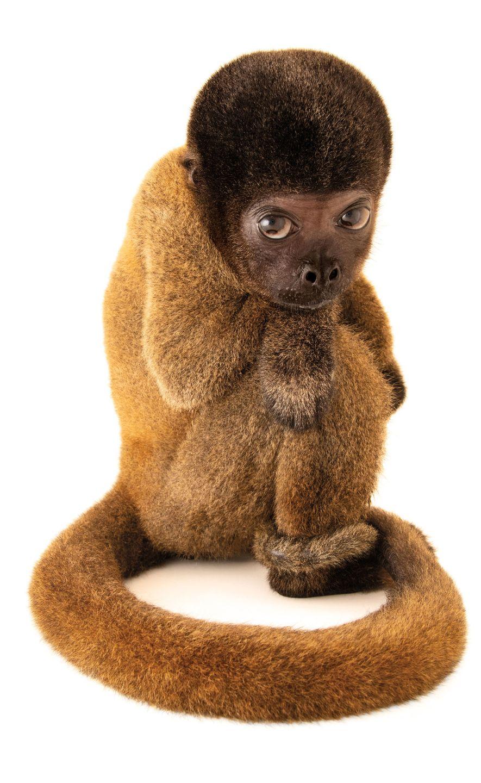 Macaco-Barrigudo-Cinzento, Lagothrix Cana (em perigo) Esta cria subnutrida de macaco-barrigudo do Brasil foi criada como animal de ...