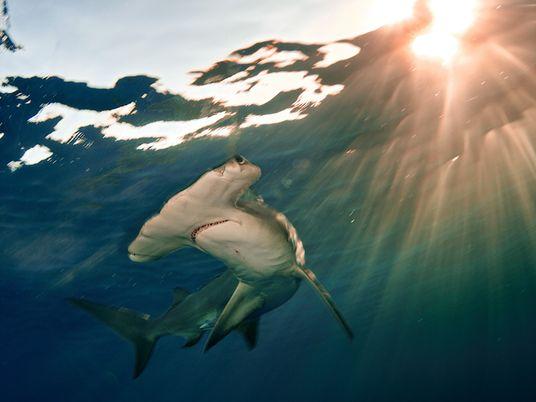 Populações Oceânicas de Raias e Tubarões Colapsaram 70% em 50 Anos