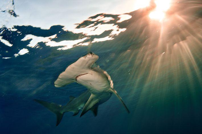 O grande tubarão-martelo (na imagem vemos um destes tubarões a nadar ao largo das Bahamas) está ...