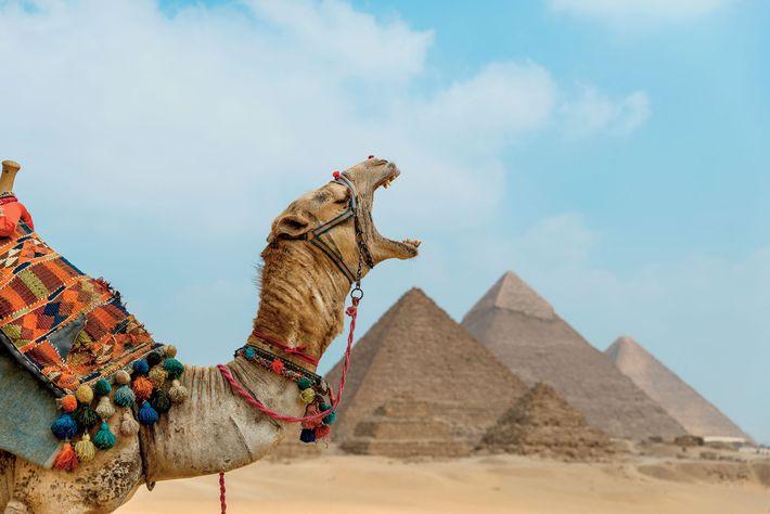 Um camelo boceja em frente das Grandes Pirâmides de Gizé