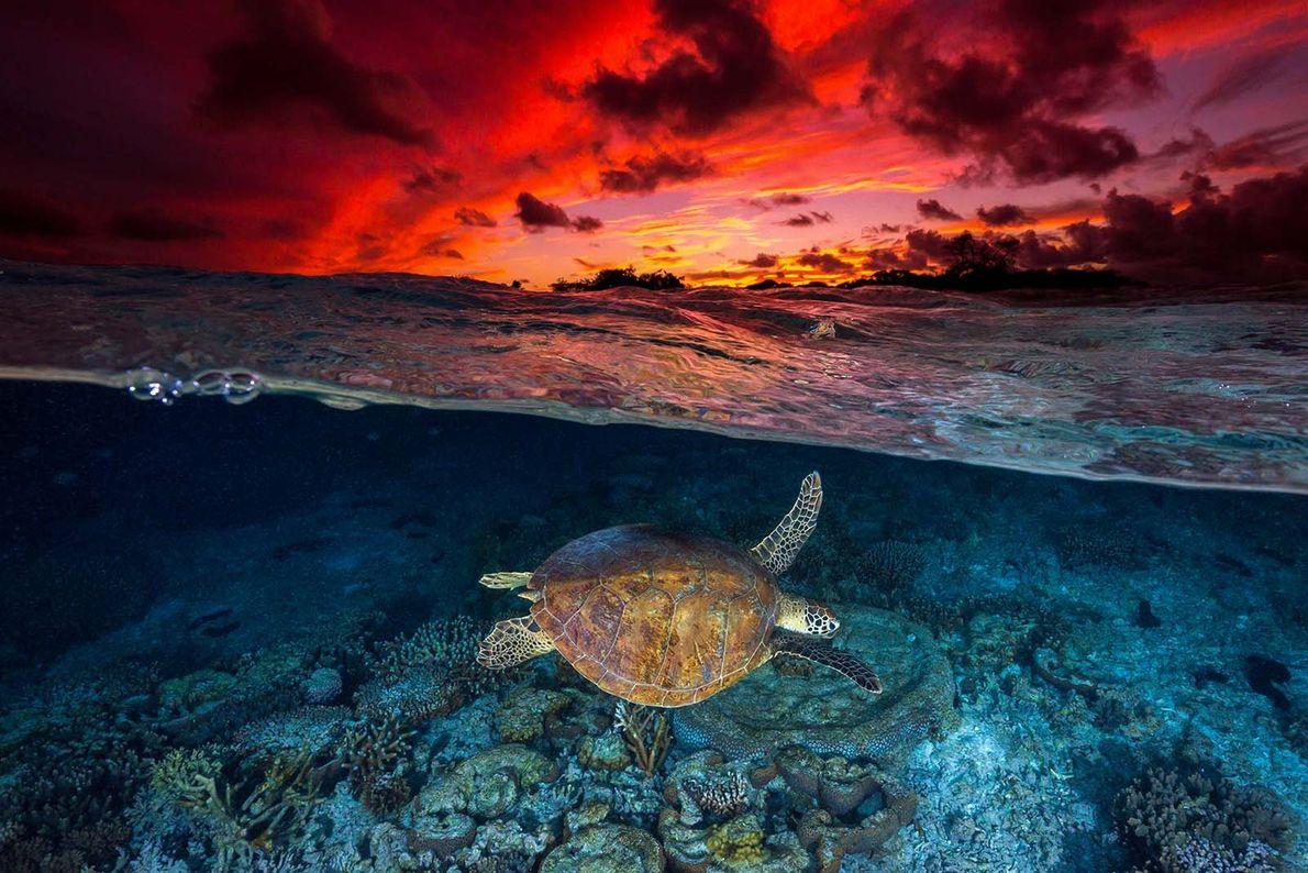 """Nesta imagem de """"duas perspetivas"""", captada pelo fotógrafo Jordan Robins na costa da Austrália, uma tartaruga-verde ..."""