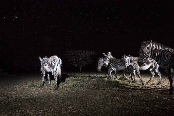 Zebras a comer o feno deixado pelo Fundo Zebra-de-Grevy. A seca diminuiu as zonas de pastagem, ...