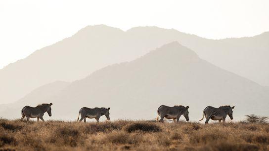 Zebras-de-grevy, animais em perigo de extinção, nas planícies do norte do Quénia. Estima-se que existam apenas ...