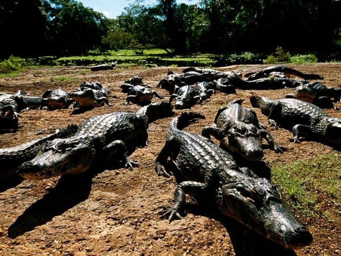 Caimões no Pantanal