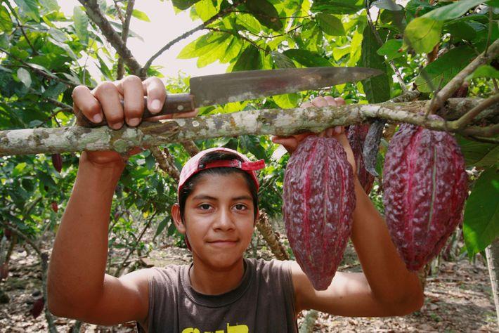 Frutos de cacau prontos para serem colhidos numa quinta no Equador.