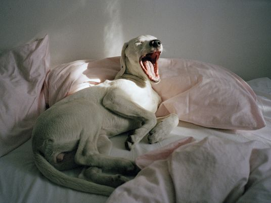 Muitos mamíferos bocejam de forma contagiosa – descubra porquê
