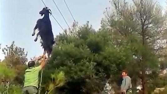 Um Resgate Bizarro: Como é que as Cabras Ficam Presas em Lugares Estranhos?