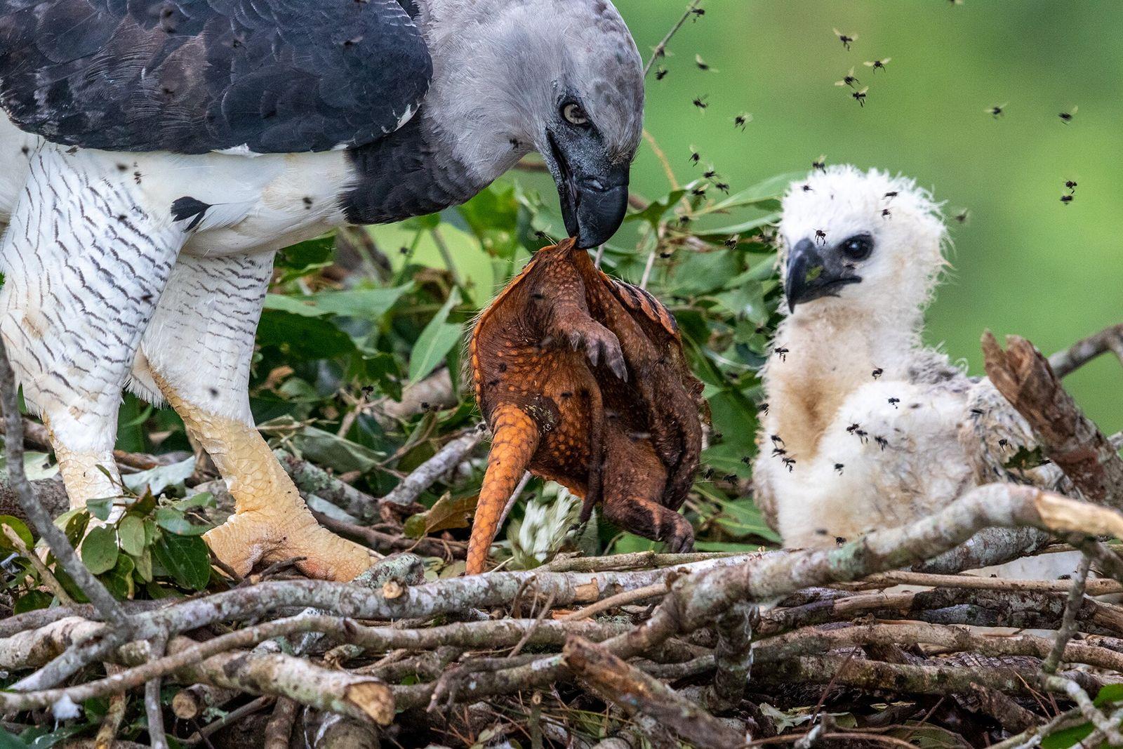 Um gavião-real alimenta a sua cria faminta com um tatu morto recentemente na Amazónia brasileira. Desde ...