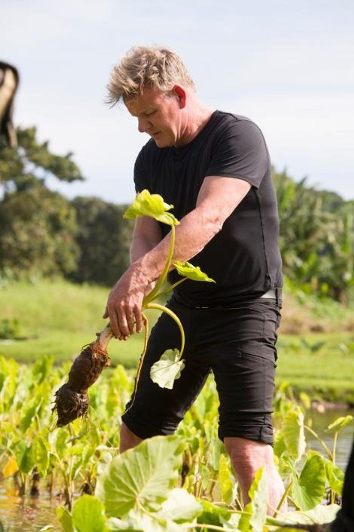 """Gordon Ramsay aprende o método """"golpe de karaté"""" de apanhar taro no Havai"""