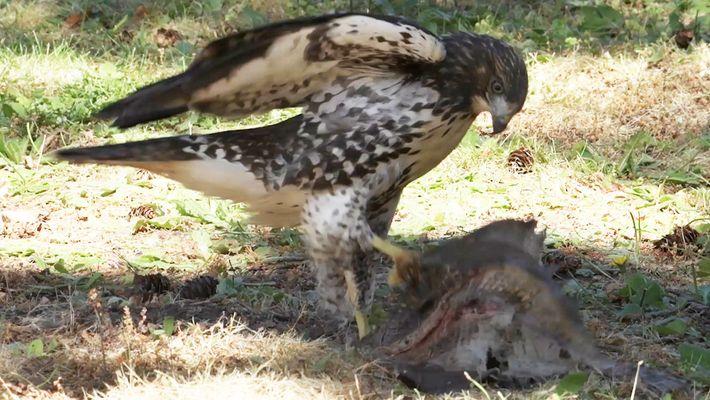 Porque é Que Este Jovem Falcão se Acha Uma Águia