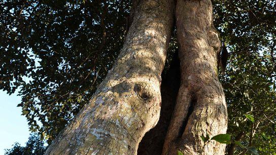 Uma árvore Castanopsis, com 400 anos, em Xuancheng, na China.