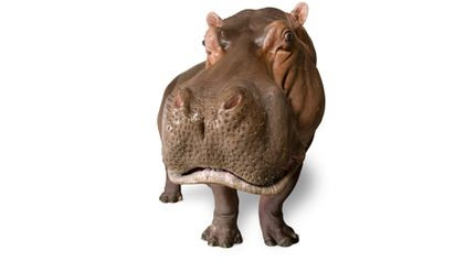Um Hipopótamo Captado Pela Lente de Joel Sartore Para o Photo Ark