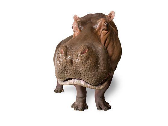 Um hipopótamo capturado pela lente de Joel Sartore para o Photo Ark