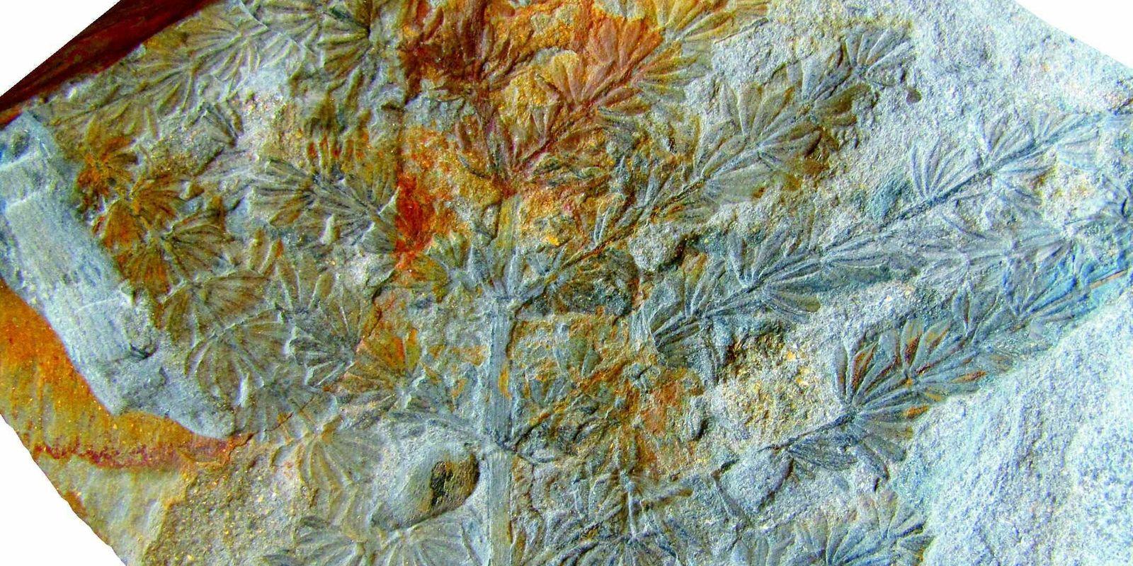 Descoberta Espécie de Cavalinha com Cerca de 300 Milhões de Anos na Região do Douro