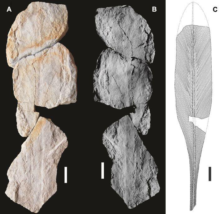 Holótipo (UP-MHNFCP-094951, -094952, -094954) de Lesleya iberiensis sp. nov., do Gzheliano inferior (Pensilvánico Superior) da região ...