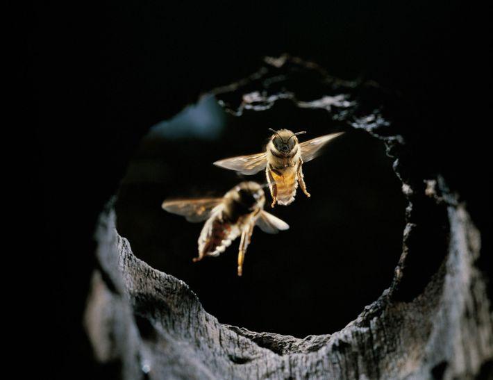 As abelhas-asiáticas desenvolveram uma variedade de truques para repelir os ataques de vespas-gigantes.
