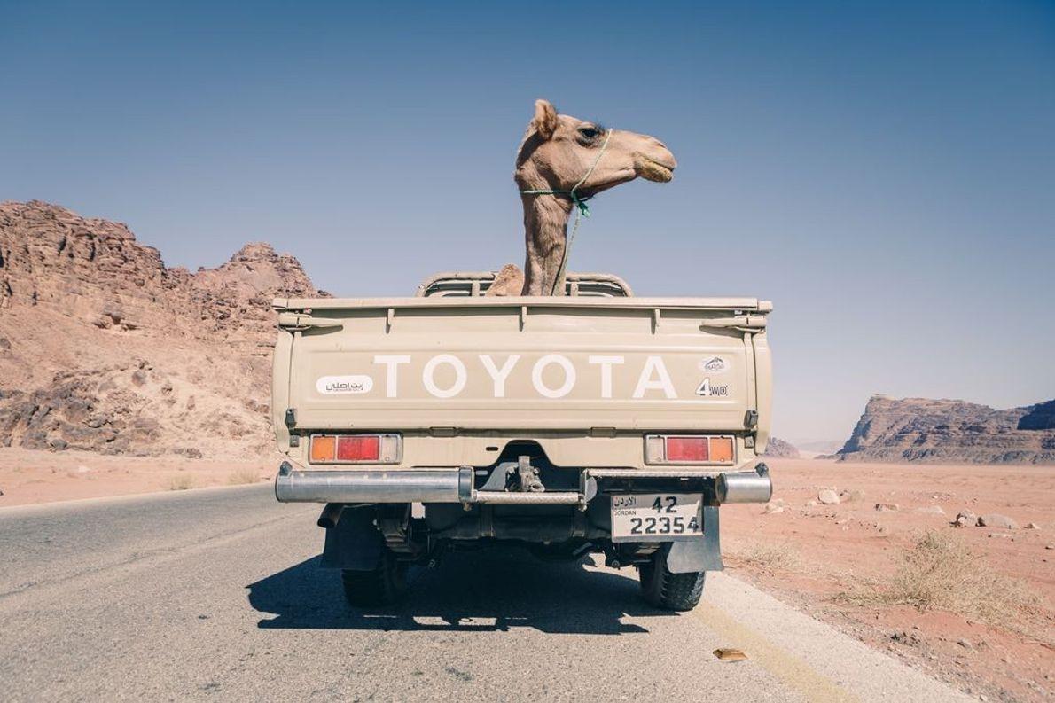 Camelo dentro de carrinha