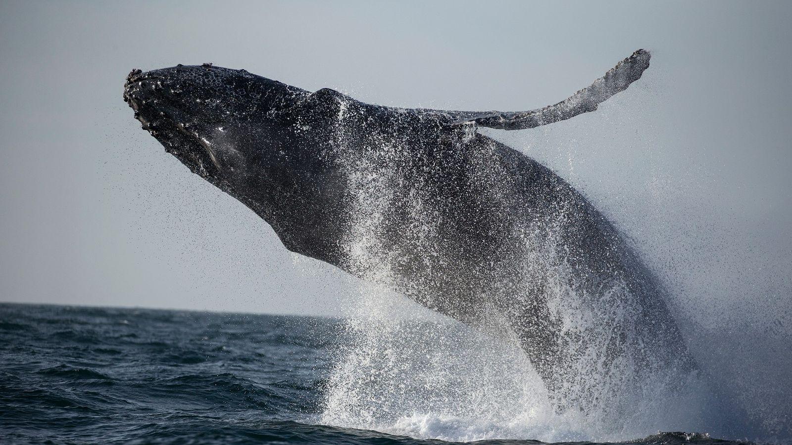 Uma baleia-jubarte emerge nas águas quentes ao largo de Monterey Bay, na Califórnia.