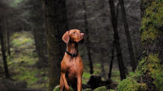 Lobos que na Antiguidade Brincavam com Humanos Podem Ter Evoluído Para os Cães Amigáveis de Hoje